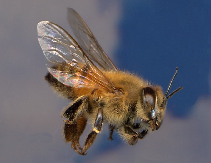 Picture of Africanized Honey Bee