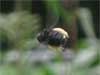 Stingless Bee 2