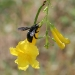Carpenter bee gathering nectar